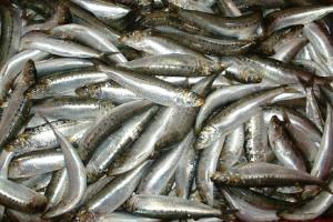 sardinero